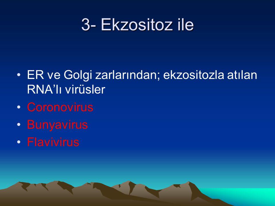3- Ekzositoz ile ER ve Golgi zarlarından; ekzositozla atılan RNA'lı virüsler Coronovirus Bunyavirus Flavivirus