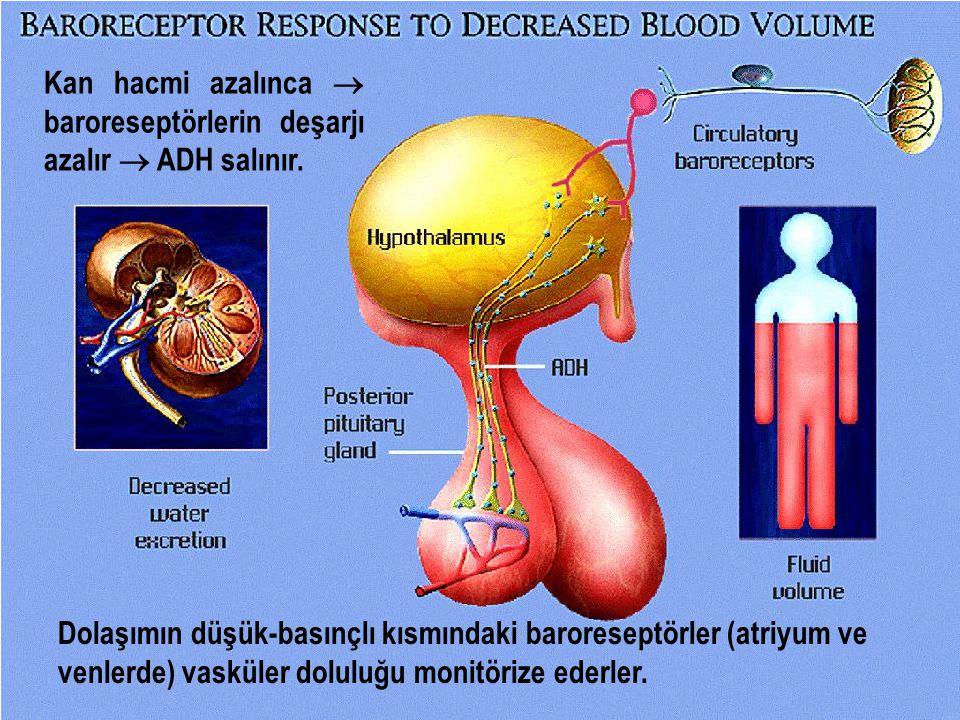 Dolaşımın düşük-basınçlı kısmındaki baroreseptörler (atriyum ve venlerde) vasküler doluluğu monitörize ederler. Kan hacmi azalınca  baroreseptörlerin