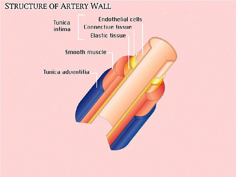Ölçüm - Stetoskop brakiyal nabzın en iyi alındığı noktaya yerleştirilir (çok bastırılmamalı, manşona değmemeli).