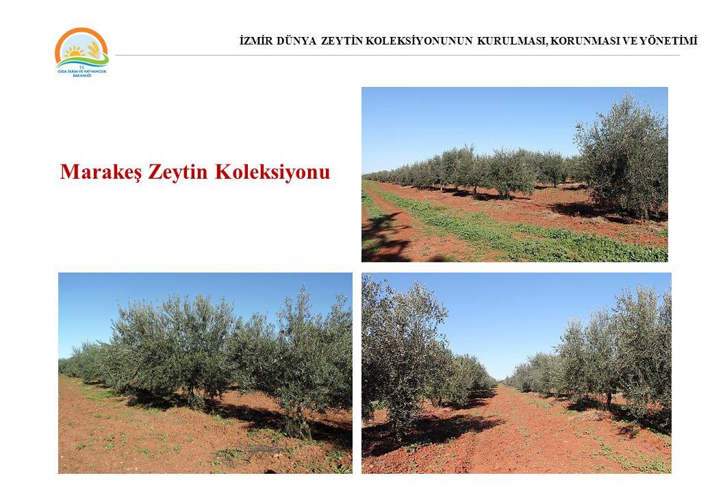 Marakeş Zeytin Koleksiyonu İZMİR DÜNYA ZEYTİN KOLEKSİYONUNUN KURULMASI, KORUNMASI VE YÖNETİMİ