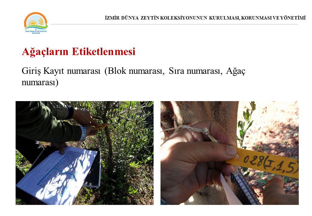 Giriş Kayıt numarası (Blok numarası, Sıra numarası, Ağaç numarası) Ağaçların Etiketlenmesi İZMİR DÜNYA ZEYTİN KOLEKSİYONUNUN KURULMASI, KORUNMASI VE YÖNETİMİ