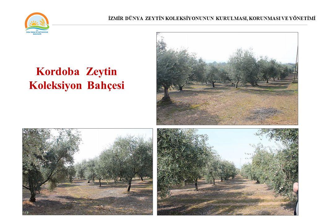 Kordoba Zeytin Koleksiyon Bahçesi İZMİR DÜNYA ZEYTİN KOLEKSİYONUNUN KURULMASI, KORUNMASI VE YÖNETİMİ