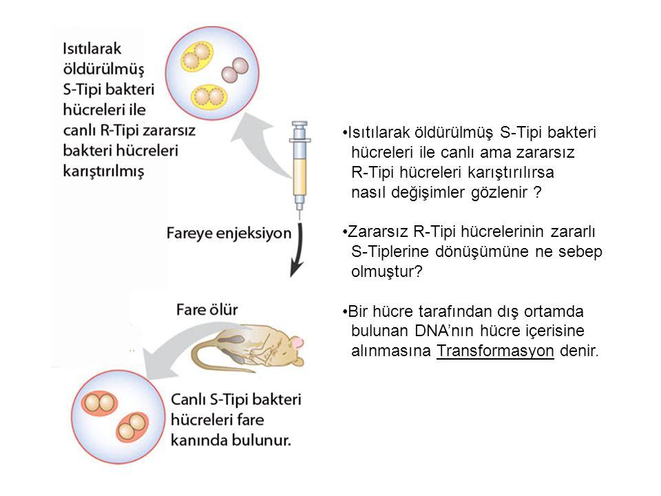 Isıtılarak öldürülmüş S-Tipi bakteri hücreleri ile canlı ama zararsız R-Tipi hücreleri karıştırılırsa nasıl değişimler gözlenir ? Zararsız R-Tipi hücr