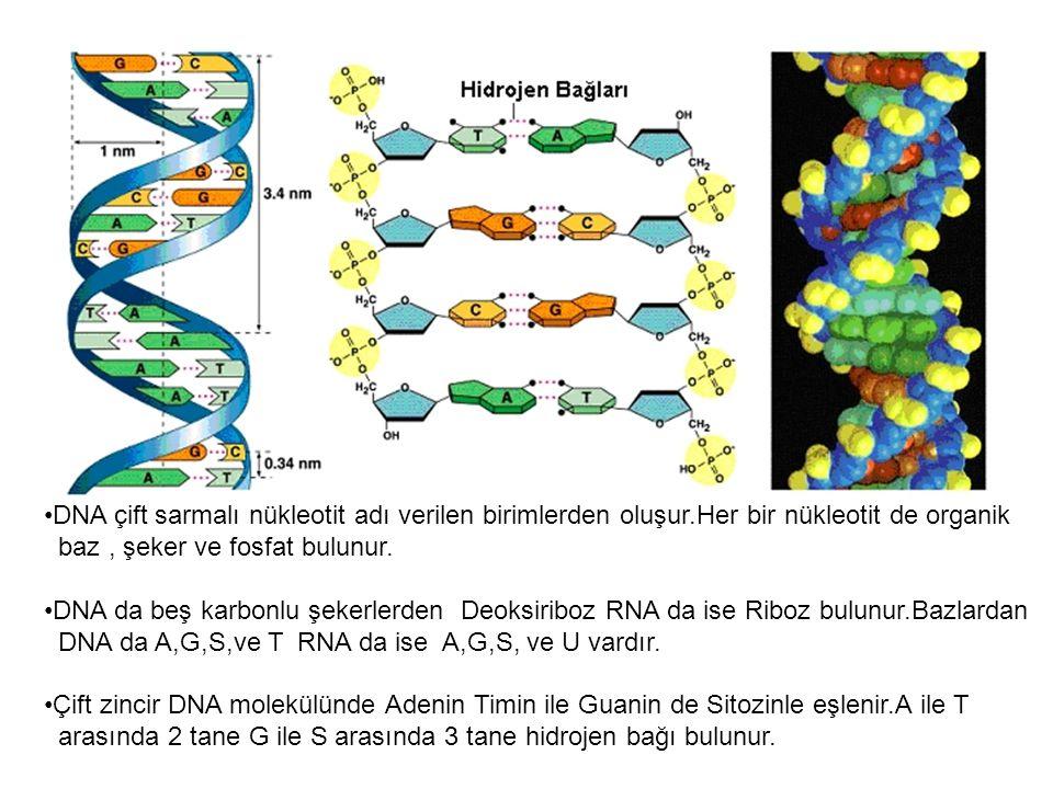 DNA çift sarmalı nükleotit adı verilen birimlerden oluşur.Her bir nükleotit de organik baz, şeker ve fosfat bulunur. DNA da beş karbonlu şekerlerden D