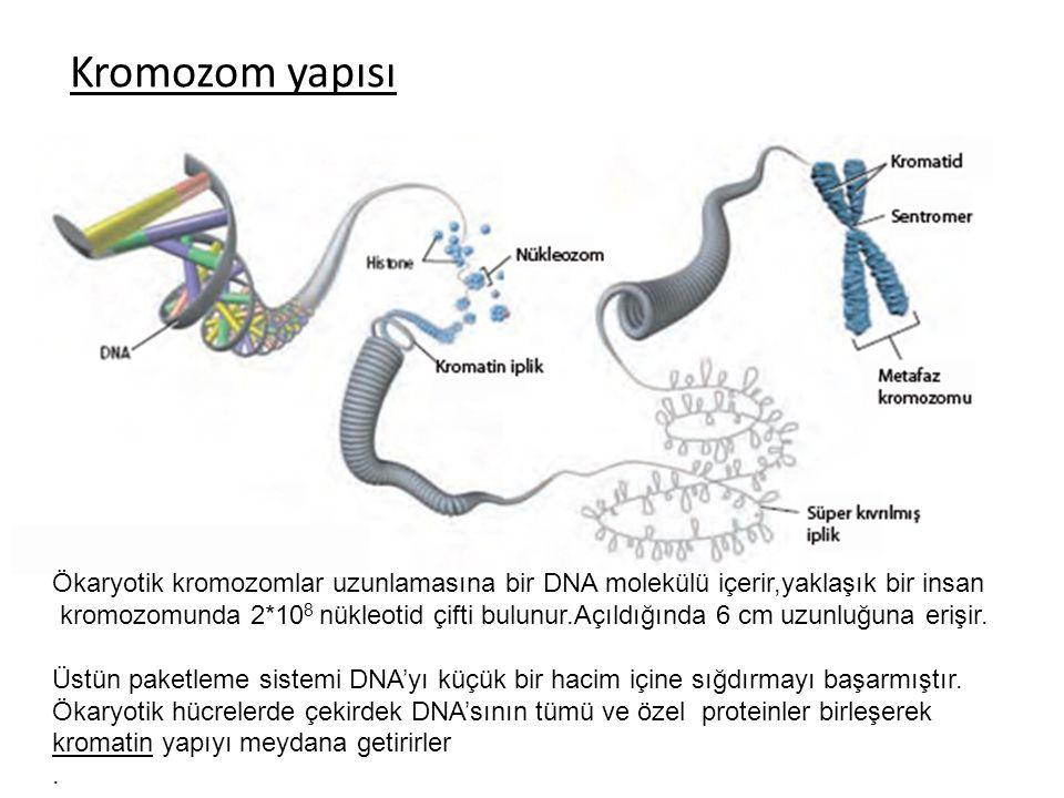 Kromozom yapısı Ökaryotik kromozomlar uzunlamasına bir DNA molekülü içerir,yaklaşık bir insan kromozomunda 2*10 8 nükleotid çifti bulunur.Açıldığında