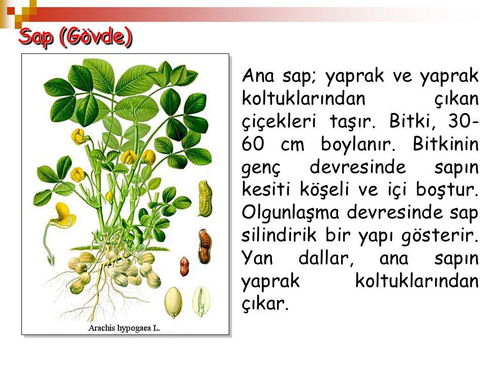 Sap (Gövde) Ana sap; yaprak ve yaprak koltuklarından çıkan çiçekleri taşır. Bitki, 30- 60 cm boylanır. Bitkinin genç devresinde sapın kesiti köşeli ve
