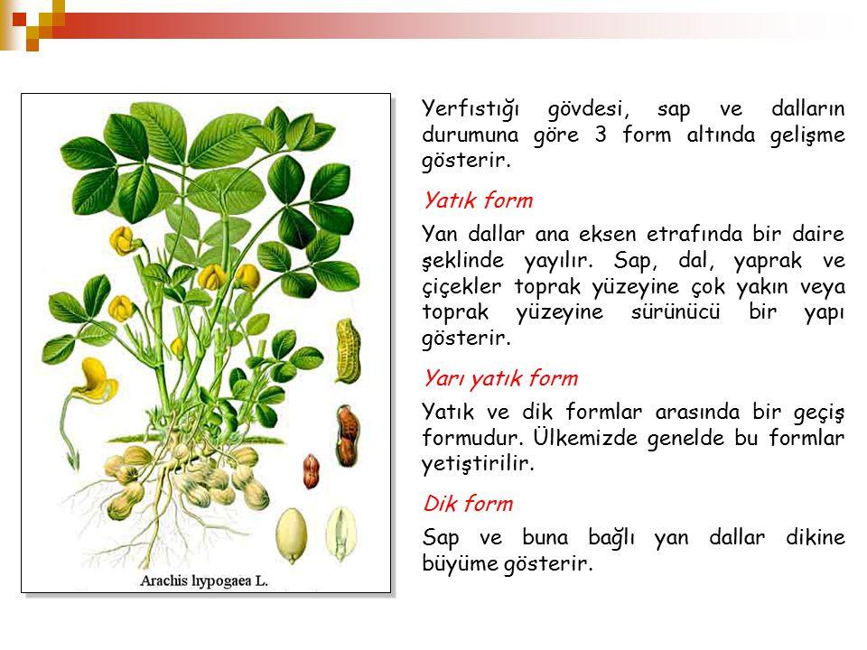Yerfıstığı gövdesi, sap ve dalların durumuna göre 3 form altında gelişme gösterir. Yatık form Yan dallar ana eksen etrafında bir daire şeklinde yayılı
