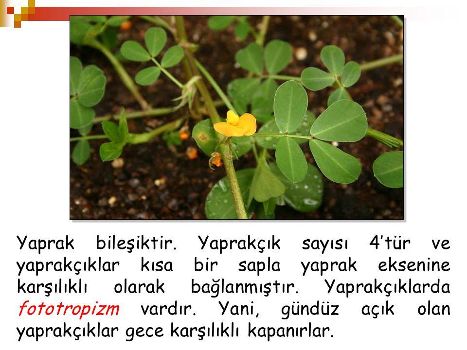 Yaprak bileşiktir. Yaprakçık sayısı 4'tür ve yaprakçıklar kısa bir sapla yaprak eksenine karşılıklı olarak bağlanmıştır. Yaprakçıklarda fototropizm va