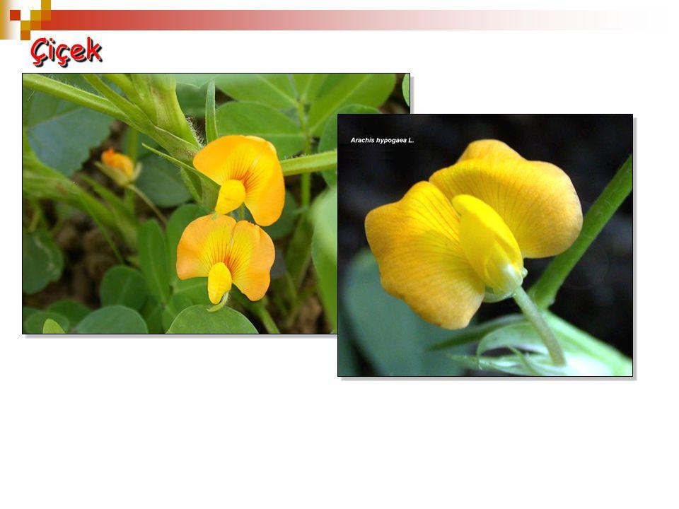 ÇiçekÇiçek