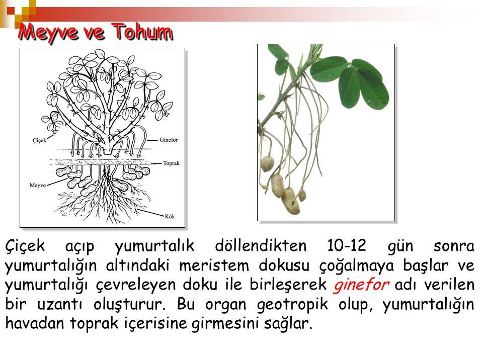 Meyve ve Tohum Çiçek açıp yumurtalık döllendikten 10-12 gün sonra yumurtalığın altındaki meristem dokusu çoğalmaya başlar ve yumurtalığı çevreleyen do