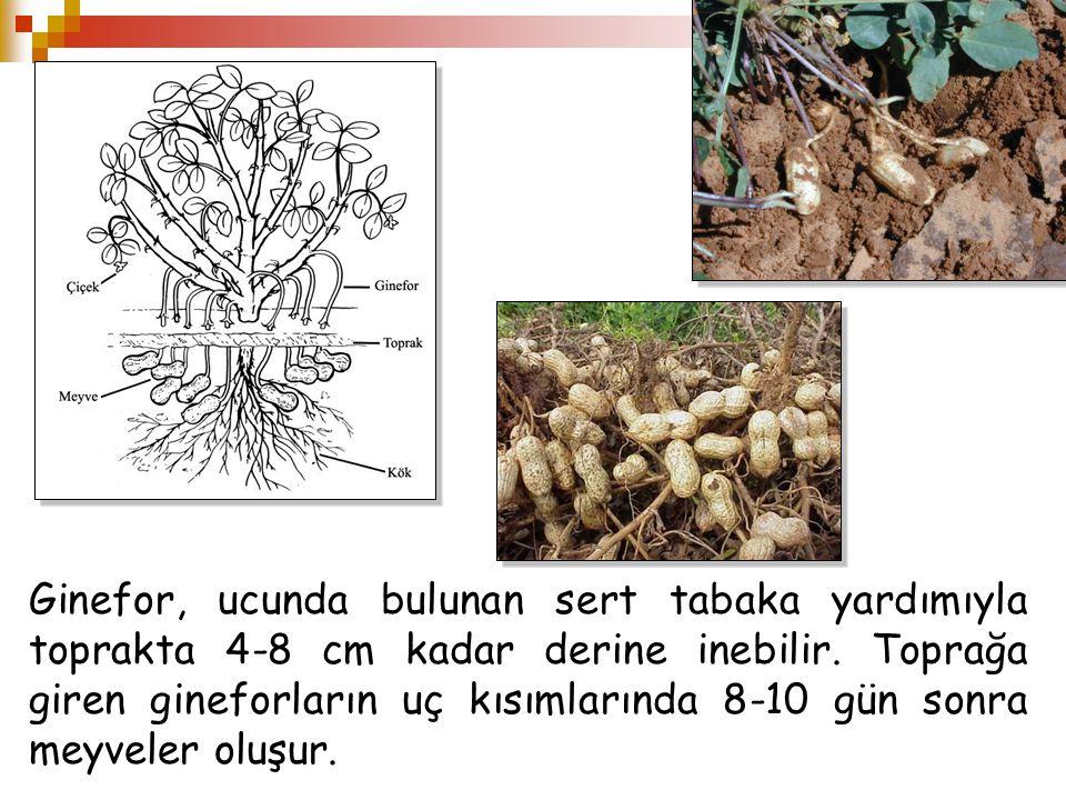 Ginefor, ucunda bulunan sert tabaka yardımıyla toprakta 4-8 cm kadar derine inebilir. Toprağa giren gineforların uç kısımlarında 8-10 gün sonra meyvel