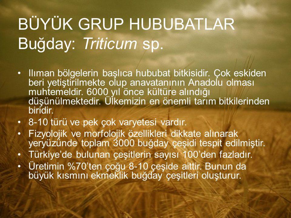 BÜYÜK GRUP HUBUBATLAR Buğday: Triticum sp. Ilıman bölgelerin başlıca hububat bitkisidir. Çok eskiden beri yetiştirilmekte olup anavatanının Anadolu ol