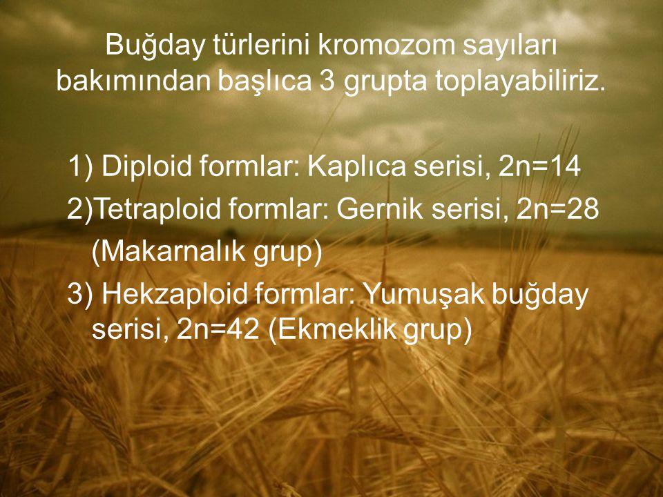 Buğday türlerini kromozom sayıları bakımından başlıca 3 grupta toplayabiliriz. 1) Diploid formlar: Kaplıca serisi, 2n=14 2)Tetraploid formlar: Gernik