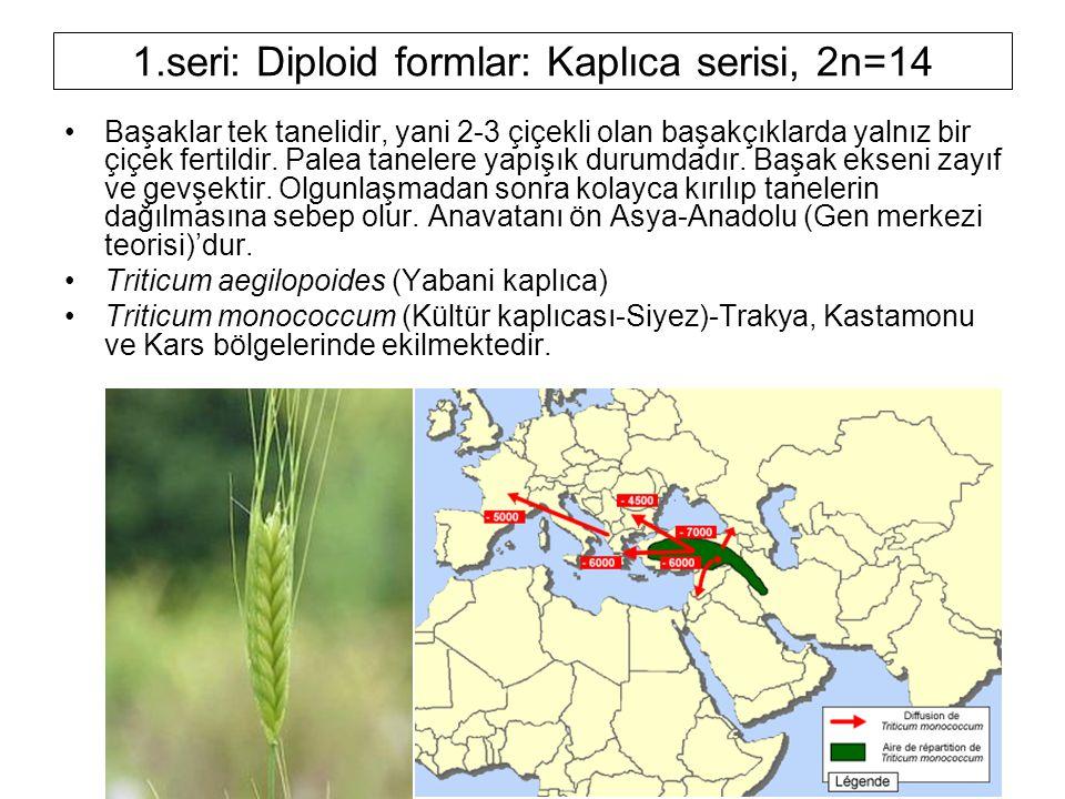1.seri: Diploid formlar: Kaplıca serisi, 2n=14 Başaklar tek tanelidir, yani 2-3 çiçekli olan başakçıklarda yalnız bir çiçek fertildir. Palea tanelere