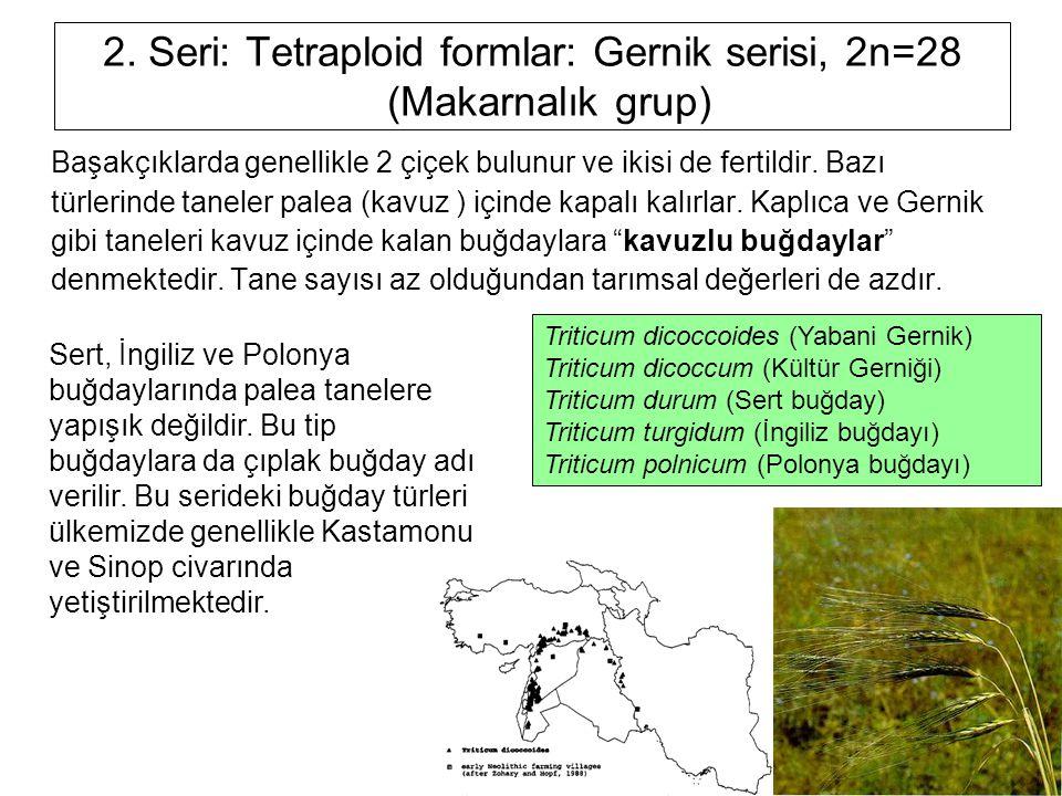 2. Seri: Tetraploid formlar: Gernik serisi, 2n=28 (Makarnalık grup) Başakçıklarda genellikle 2 çiçek bulunur ve ikisi de fertildir. Bazı türlerinde ta