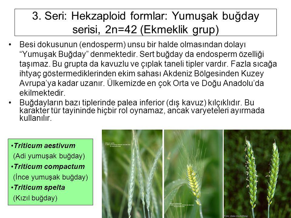 """3. Seri: Hekzaploid formlar: Yumuşak buğday serisi, 2n=42 (Ekmeklik grup) Besi dokusunun (endosperm) unsu bir halde olmasından dolayı """"Yumuşak Buğday"""""""