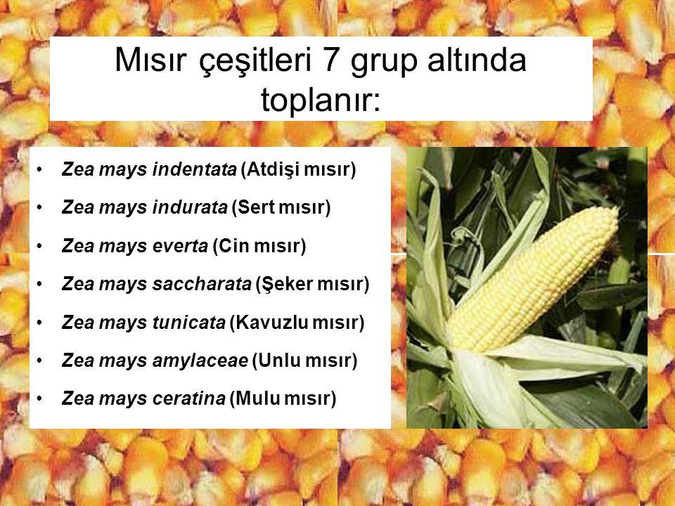 Mısır çeşitleri 7 grup altında toplanır: Zea mays indentata (Atdişi mısır) Zea mays indurata (Sert mısır) Zea mays everta (Cin mısır) Zea mays sacchar