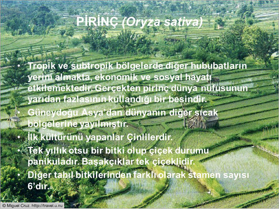 PİRİNÇ (Oryza sativa) Tropik ve subtropik bölgelerde diğer hububatların yerini almakta, ekonomik ve sosyal hayatı etkilemektedir. Gerçekten pirinç dün
