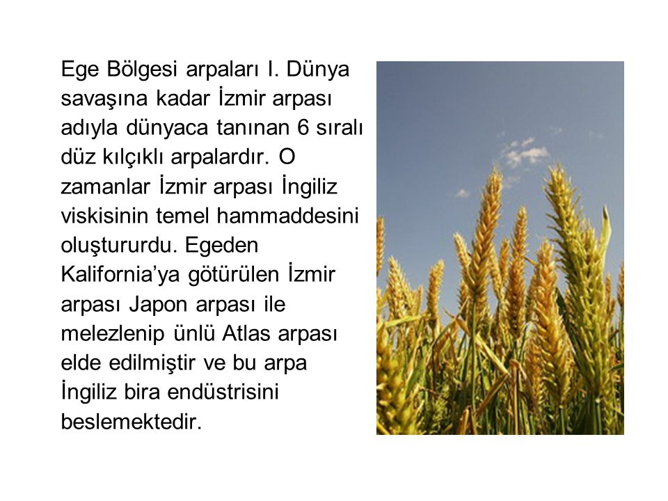 Ege Bölgesi arpaları I. Dünya savaşına kadar İzmir arpası adıyla dünyaca tanınan 6 sıralı düz kılçıklı arpalardır. O zamanlar İzmir arpası İngiliz vis