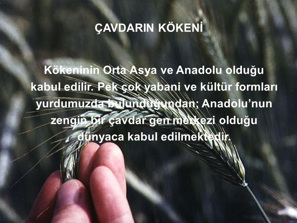 ÇAVDARIN KÖKENİ Kökeninin Orta Asya ve Anadolu olduğu kabul edilir. Pek çok yabani ve kültür formları yurdumuzda bulunduğundan; Anadolu'nun zengin bir