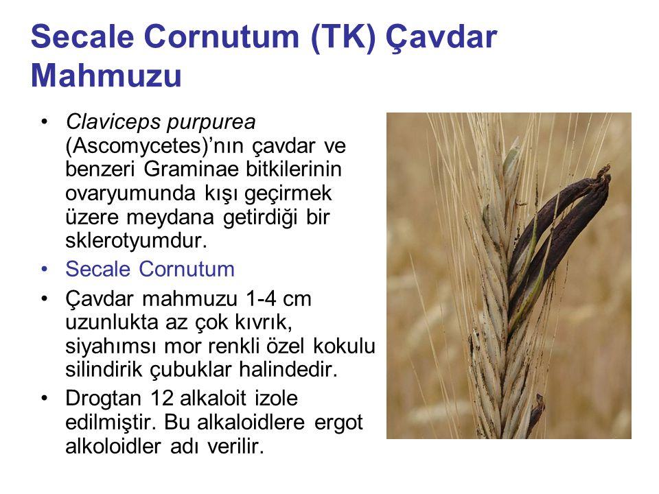 Secale Cornutum (TK) Çavdar Mahmuzu Claviceps purpurea (Ascomycetes)'nın çavdar ve benzeri Graminae bitkilerinin ovaryumunda kışı geçirmek üzere meyda