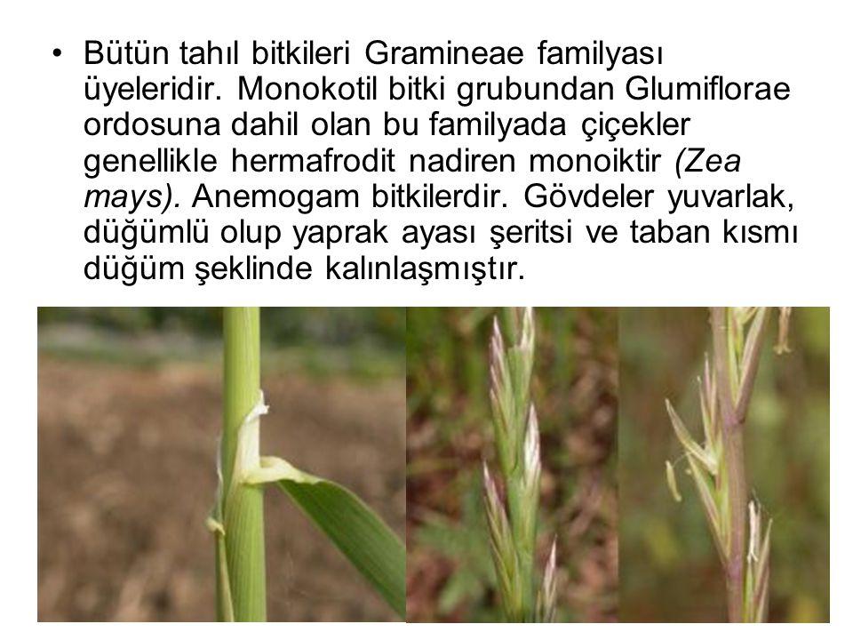 Bütün tahıl bitkileri Gramineae familyası üyeleridir. Monokotil bitki grubundan Glumiflorae ordosuna dahil olan bu familyada çiçekler genellikle herma