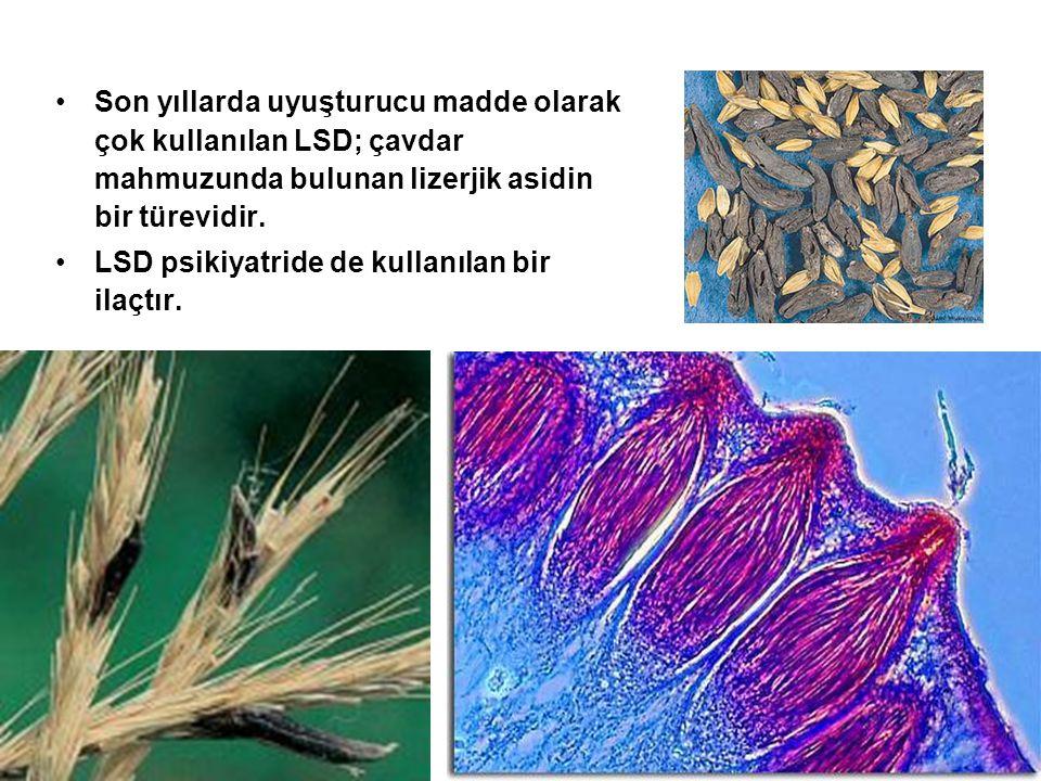 Son yıllarda uyuşturucu madde olarak çok kullanılan LSD; çavdar mahmuzunda bulunan lizerjik asidin bir türevidir. LSD psikiyatride de kullanılan bir i