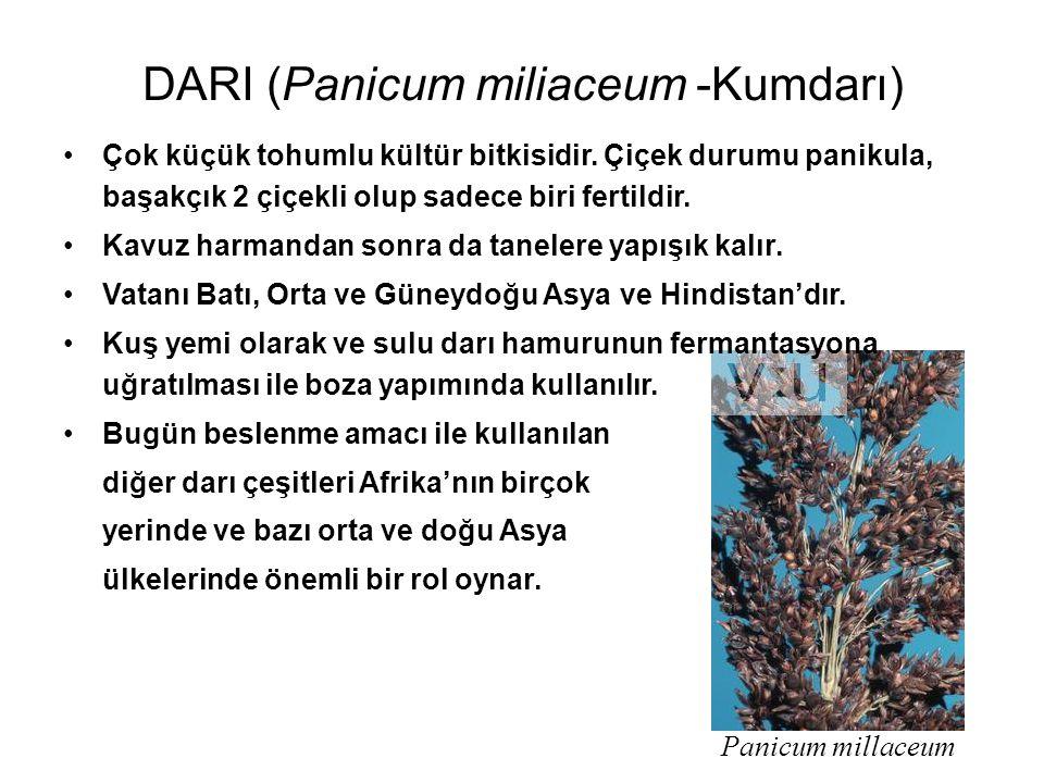 Panicum millaceum DARI (Panicum miliaceum -Kumdarı) Çok küçük tohumlu kültür bitkisidir. Çiçek durumu panikula, başakçık 2 çiçekli olup sadece biri fe