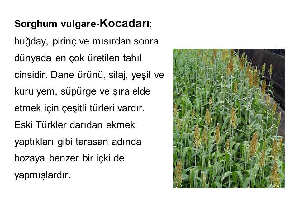 Sorghum vulgare- Kocadarı ; buğday, pirinç ve mısırdan sonra dünyada en çok üretilen tahıl cinsidir. Dane ürünü, silaj, yeşil ve kuru yem, süpürge ve