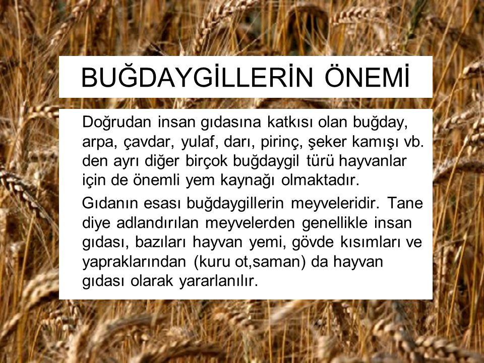 BUĞDAYGİLLERİN ÖNEMİ Doğrudan insan gıdasına katkısı olan buğday, arpa, çavdar, yulaf, darı, pirinç, şeker kamışı vb. den ayrı diğer birçok buğdaygil