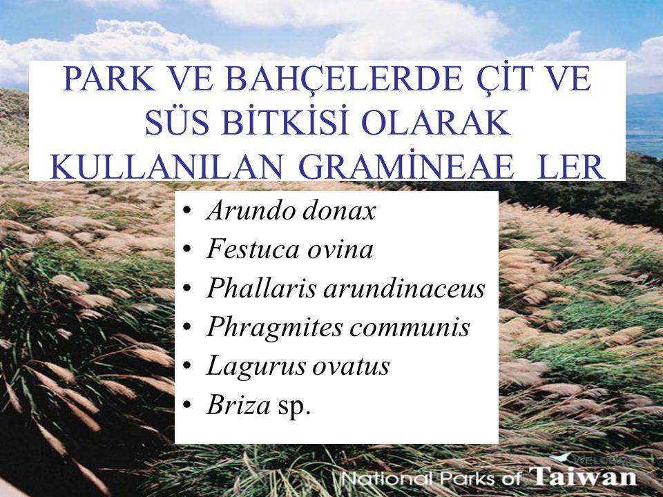PARK VE BAHÇELERDE ÇİT VE SÜS BİTKİSİ OLARAK KULLANILAN GRAMİNEAE LER Arundo donax Festuca ovina Phallaris arundinaceus Phragmites communis Lagurus ov