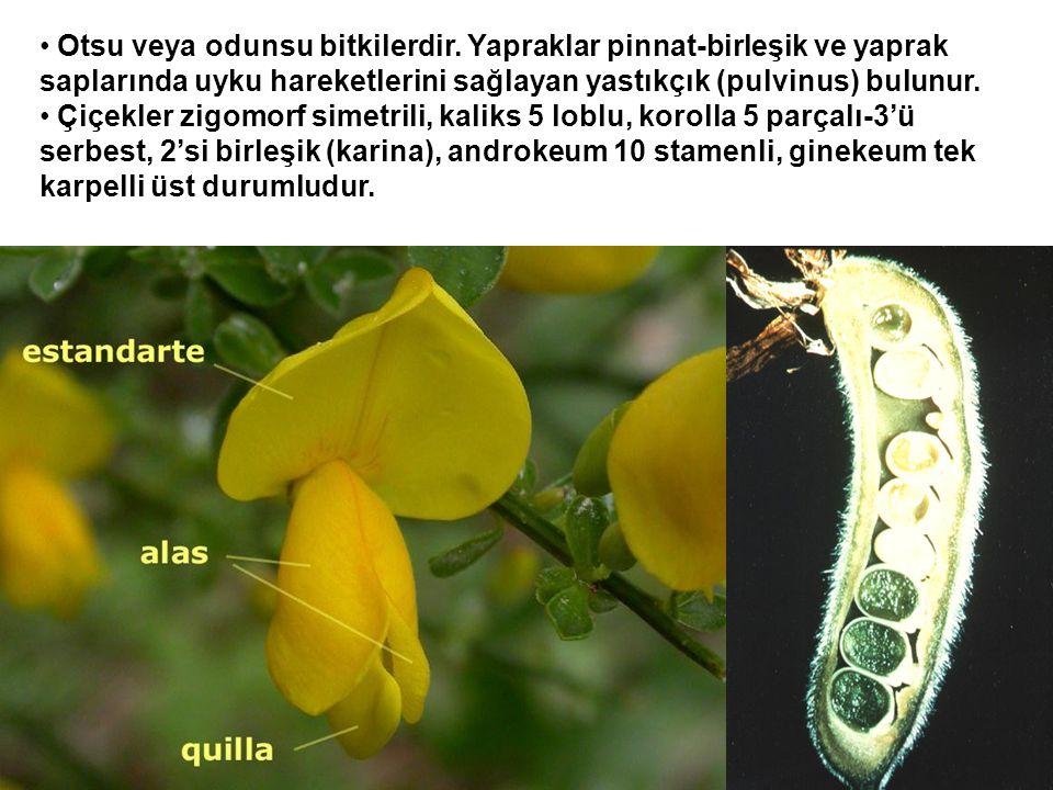 Otsu veya odunsu bitkilerdir. Yapraklar pinnat-birleşik ve yaprak saplarında uyku hareketlerini sağlayan yastıkçık (pulvinus) bulunur. Çiçekler zigomo