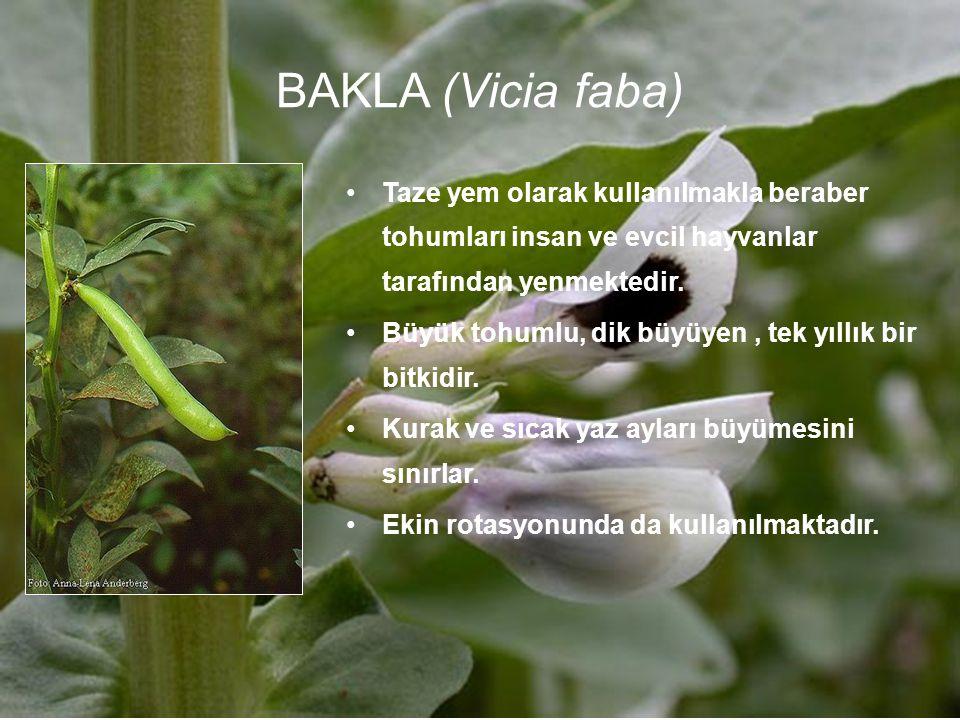 BAKLA (Vicia faba) Taze yem olarak kullanılmakla beraber tohumları insan ve evcil hayvanlar tarafından yenmektedir. Büyük tohumlu, dik büyüyen, tek yı