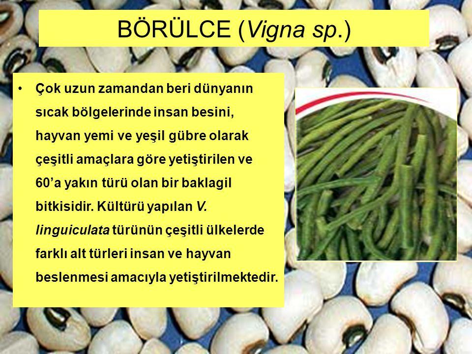 BÖRÜLCE (Vigna sp.) Çok uzun zamandan beri dünyanın sıcak bölgelerinde insan besini, hayvan yemi ve yeşil gübre olarak çeşitli amaçlara göre yetiştiri