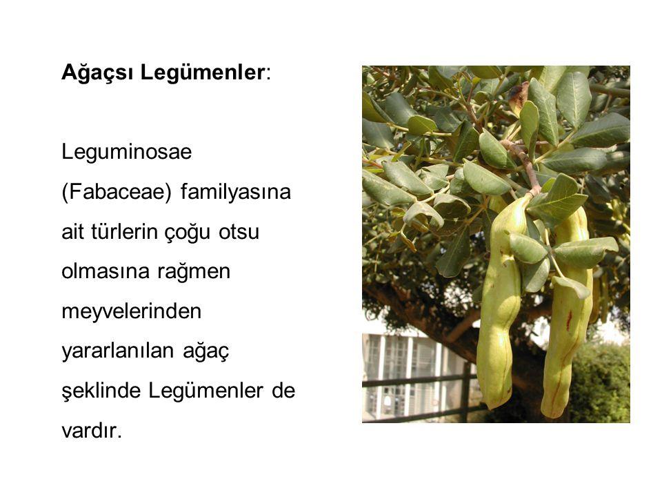 Ağaçsı Legümenler: Leguminosae (Fabaceae) familyasına ait türlerin çoğu otsu olmasına rağmen meyvelerinden yararlanılan ağaç şeklinde Legümenler de va