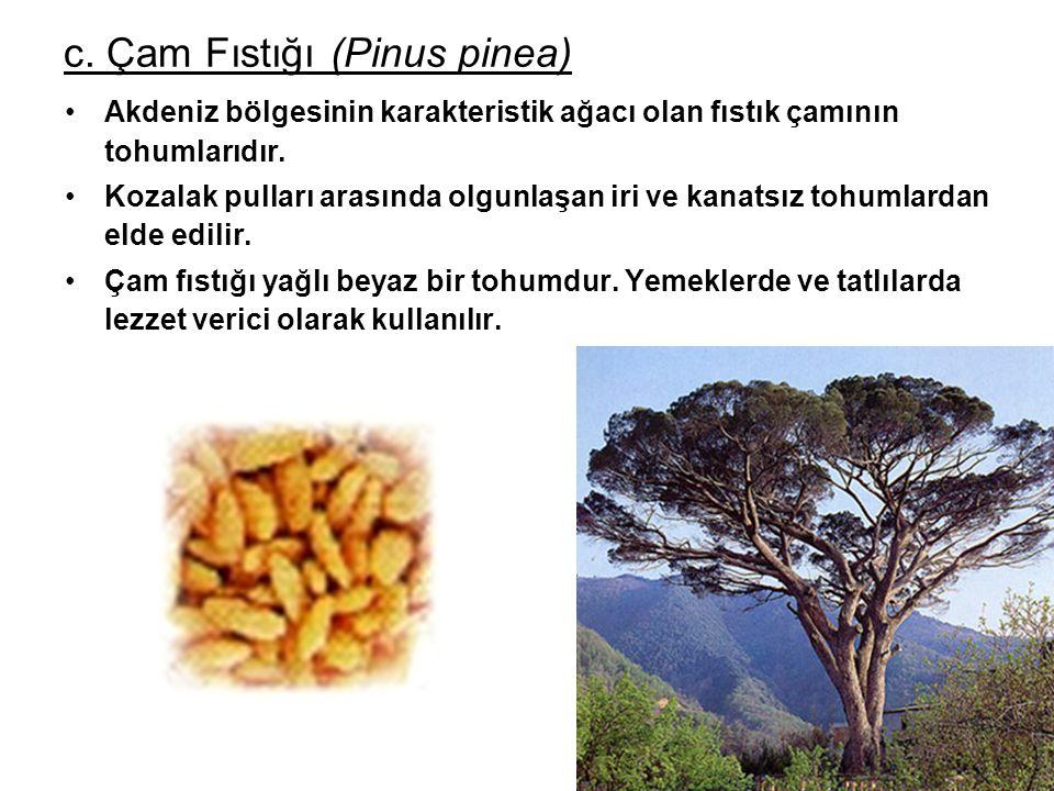 c. Çam Fıstığı (Pinus pinea) Akdeniz bölgesinin karakteristik ağacı olan fıstık çamının tohumlarıdır. Kozalak pulları arasında olgunlaşan iri ve kanat