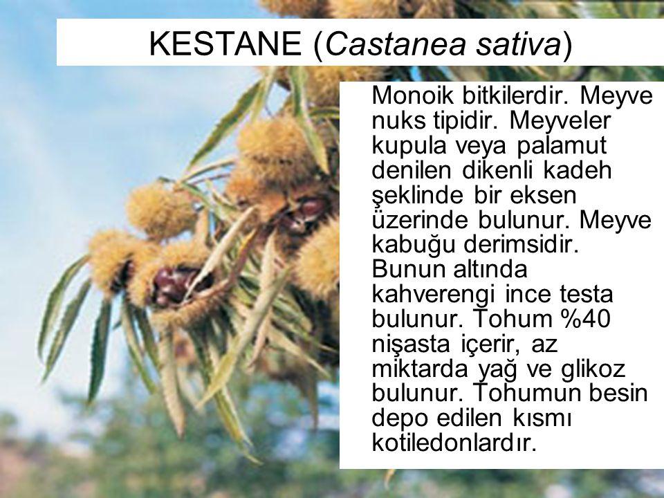KESTANE (Castanea sativa) Monoik bitkilerdir. Meyve nuks tipidir. Meyveler kupula veya palamut denilen dikenli kadeh şeklinde bir eksen üzerinde bulun