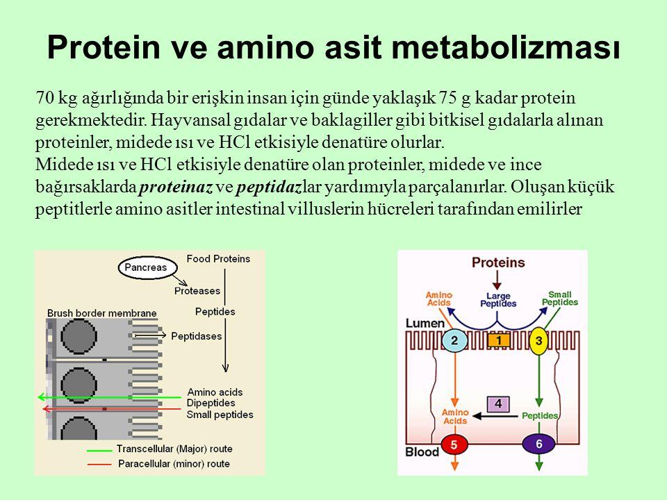Protein ve amino asit metabolizması 70 kg ağırlığında bir erişkin insan için günde yaklaşık 75 g kadar protein gerekmektedir.