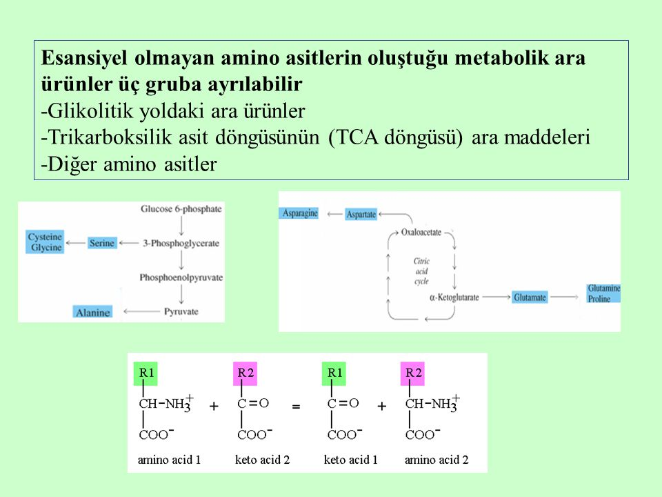 Esansiyel olmayan amino asitlerin oluştuğu metabolik ara ürünler üç gruba ayrılabilir -Glikolitik yoldaki ara ürünler -Trikarboksilik asit döngüsünün (TCA döngüsü) ara maddeleri -Diğer amino asitler