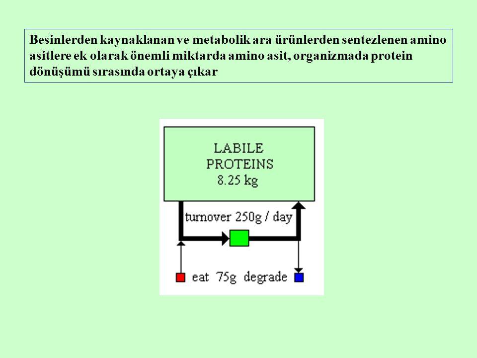 Besinlerden kaynaklanan ve metabolik ara ürünlerden sentezlenen amino asitlere ek olarak önemli miktarda amino asit, organizmada protein dönüşümü sırasında ortaya çıkar