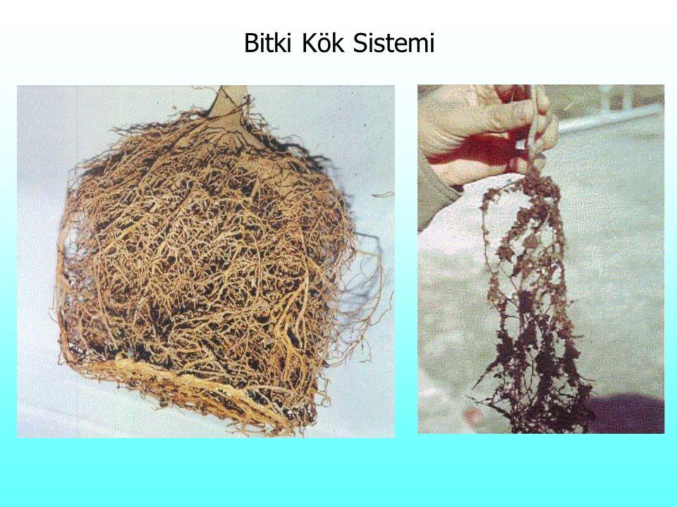 Bitki Kök Sistemi