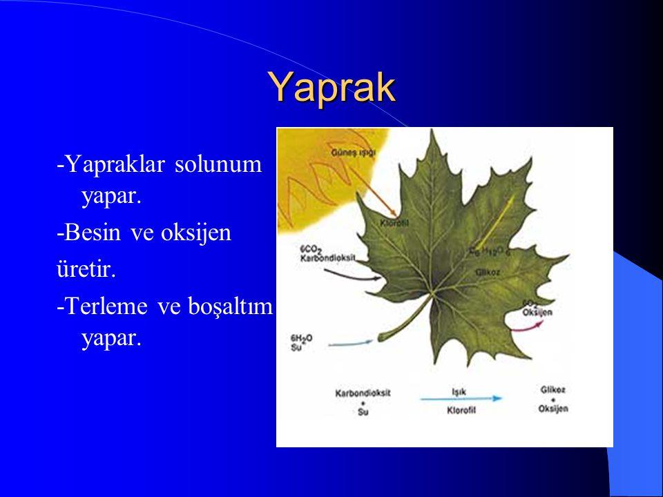 3. YAPRAK Yaprak ayası:Yaprağın geniş yassı kısmıdır. Yaprak sapı:Yaprak ayasını gövdeye bağlar. Yaprak kını:Yaprak sapı genişleyerek gövdeyi sarar. B