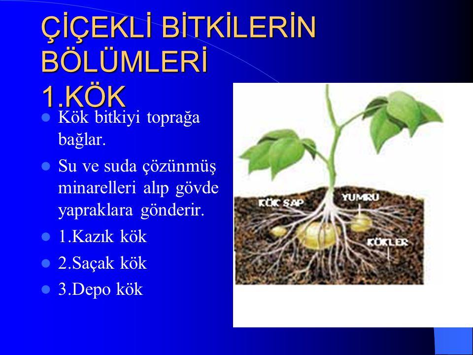 ÇİÇEKLİ BİTKİLERİN BÖLÜMLERİ 1.KÖK Kök bitkiyi toprağa bağlar.