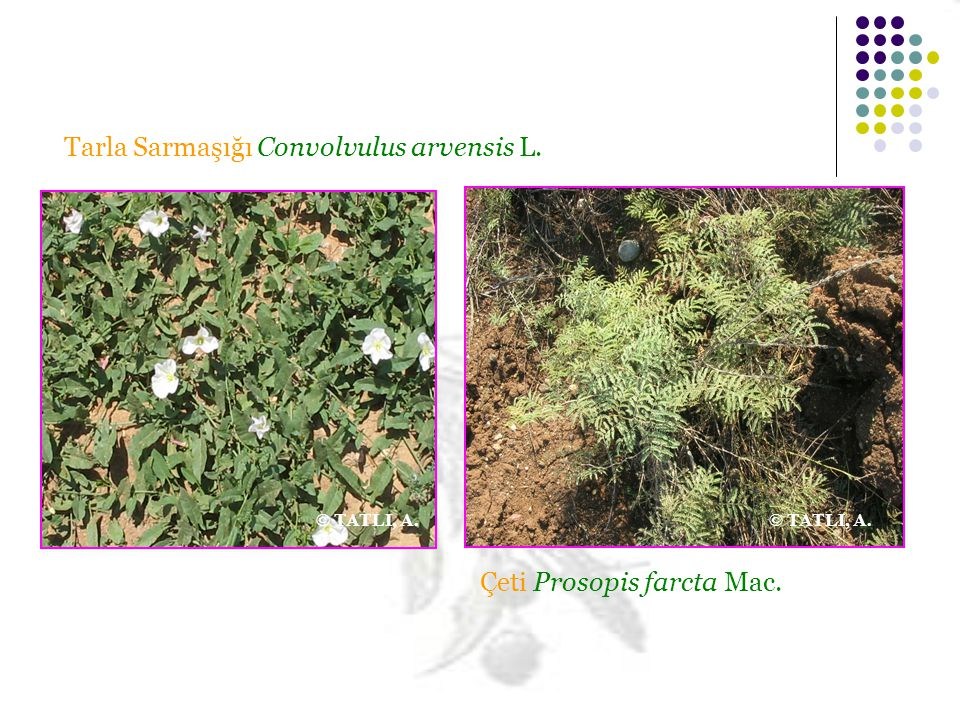 Çeti Prosopis farcta Mac. Tarla Sarmaşığı Convolvulus arvensis L. © TATLI, A.