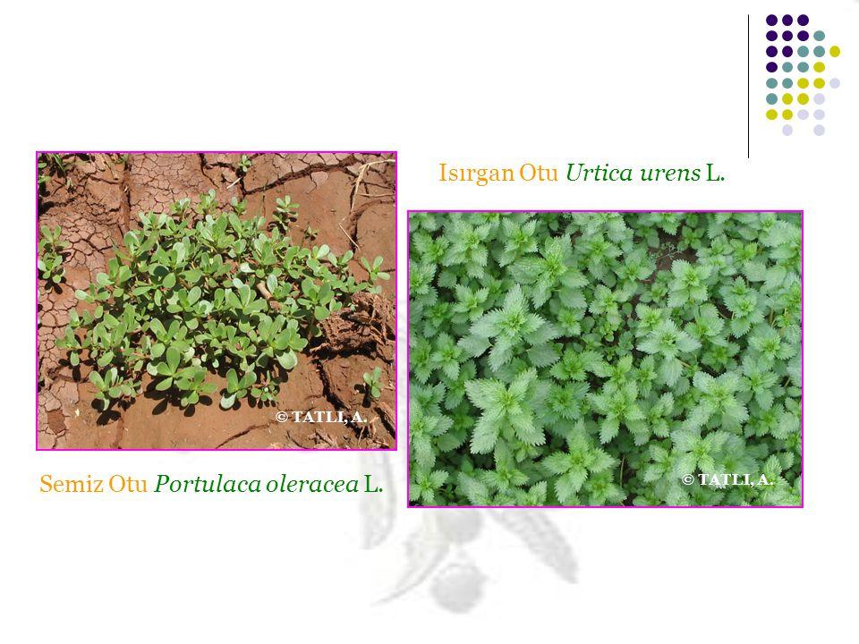 Semiz Otu Portulaca oleracea L. Isırgan Otu Urtica urens L. © TATLI, A.