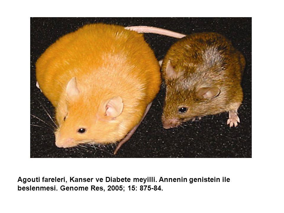 Agouti fareleri, Kanser ve Diabete meyilli.Annenin genistein ile beslenmesi.