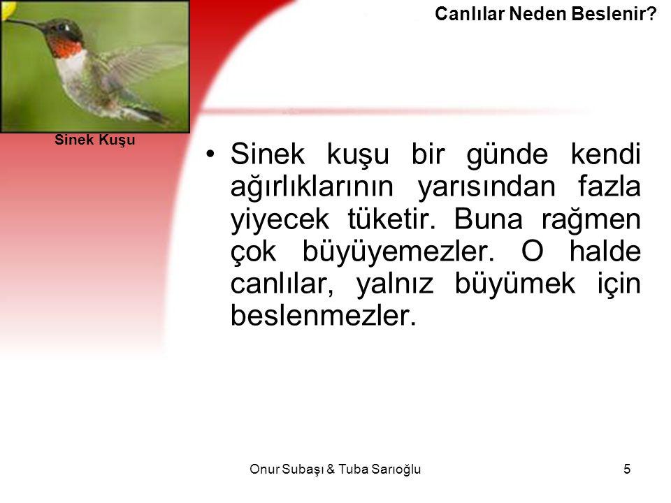 Onur Subaşı & Tuba Sarıoğlu5 Sinek kuşu bir günde kendi ağırlıklarının yarısından fazla yiyecek tüketir. Buna rağmen çok büyüyemezler. O halde canlıla