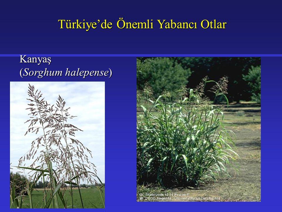 Türkiye'de Önemli Yabancı Otlar Kanyaş (Sorghum halepense)