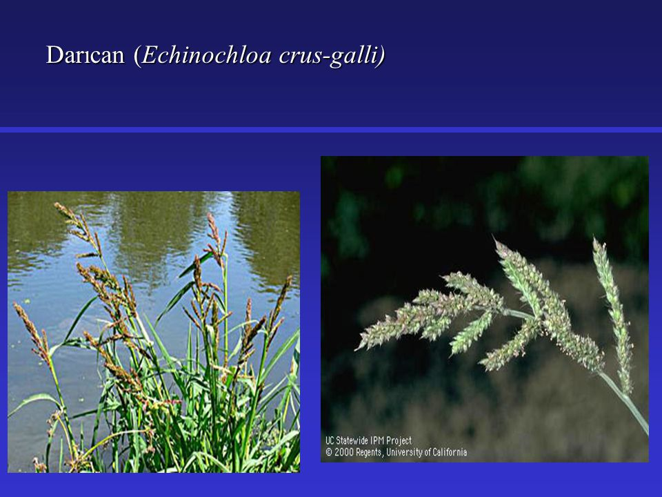 Darıcan (Echinochloa crus-galli)