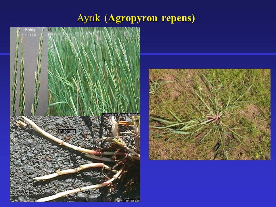 Ayrık (Agropyron repens)